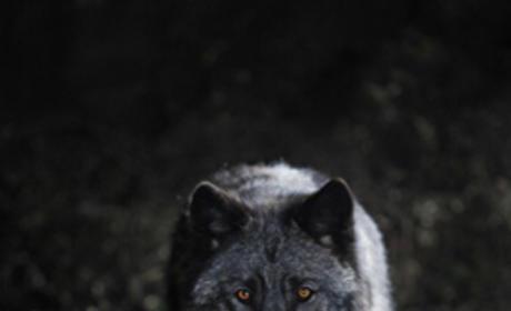Werewolf Sighting