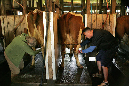Cow Milking