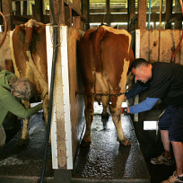 Cow-milking